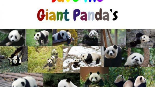 Save the giant panda s large