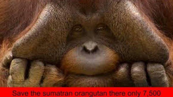 Sumatran orangutan toby large